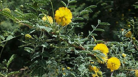Desert trees shrubs cactus garden the sonoran desert with child but this shrub is coated with bright yellow puffy flowers right photo the pom pom like flowers look mightylinksfo
